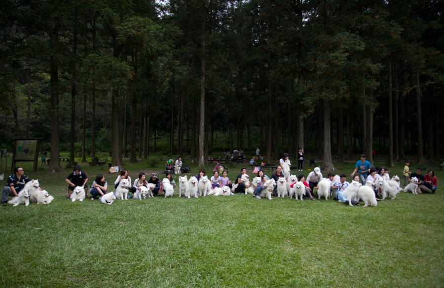 薩摩耶犬聚會